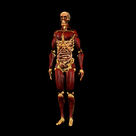 Skeleton gore model